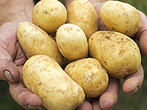 Farmers Hands Holding White Potatoes